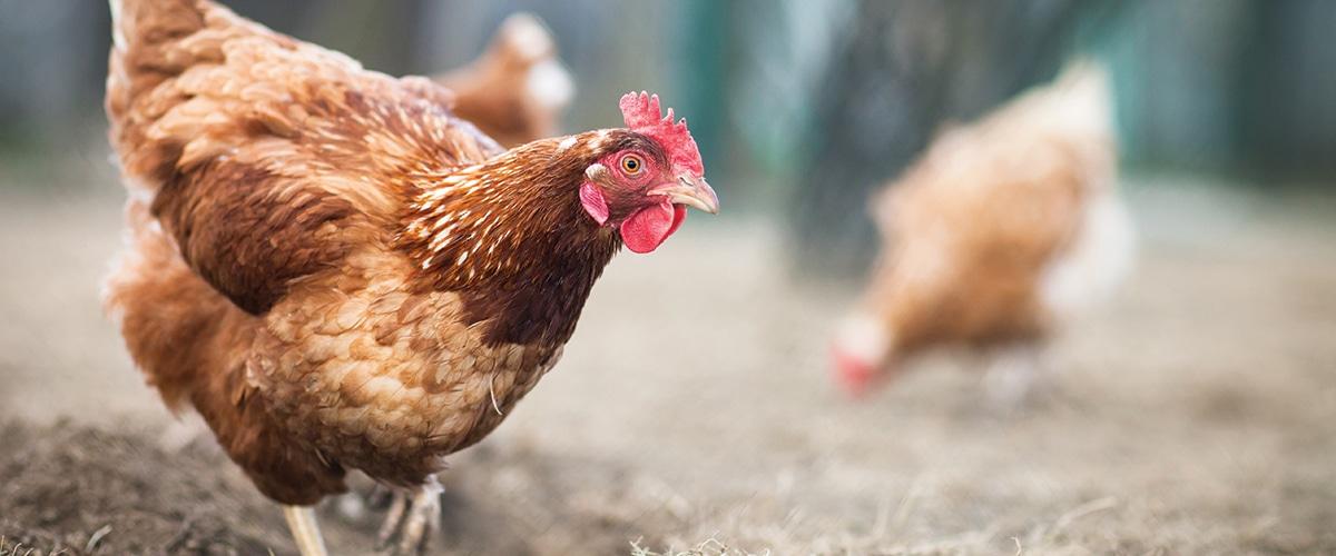 Fermiers propriétaires_producteurs d'oeufs canadiens_Nutrigroupe