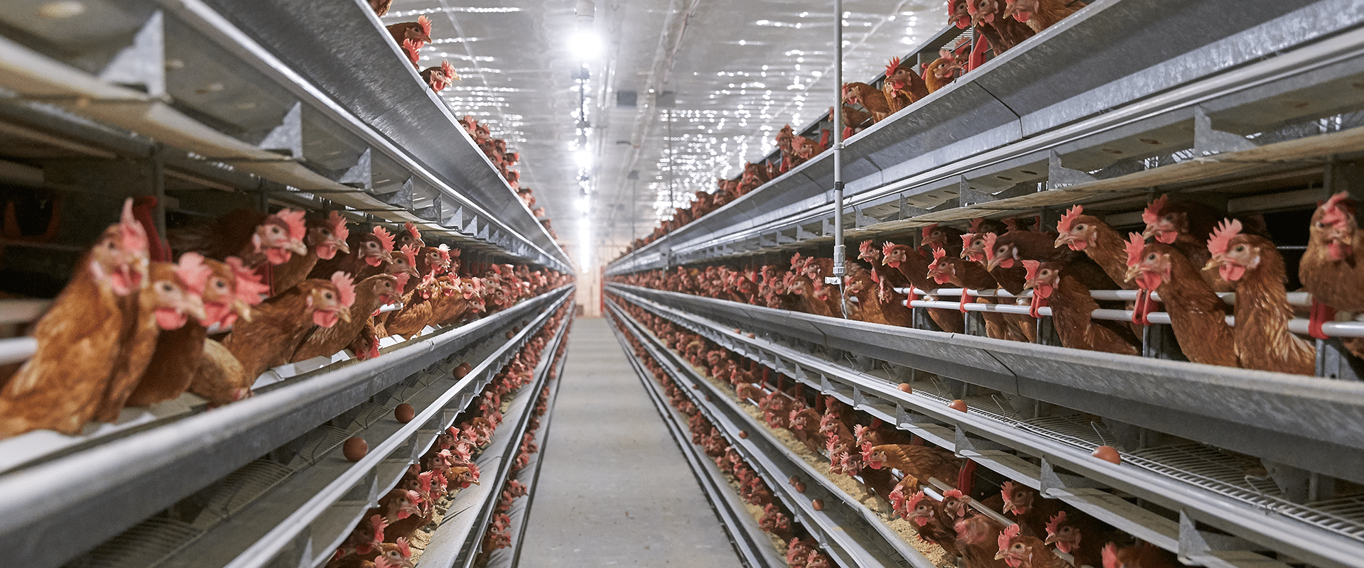 Poules_fermiers propriétaires producteurs d'oeufs canadiens_Nutrigroupe